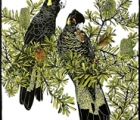 yellow-tailed-blacks-s